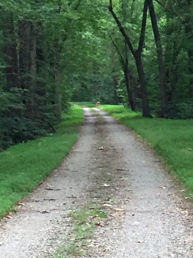 fuzzy-deer-on-trail